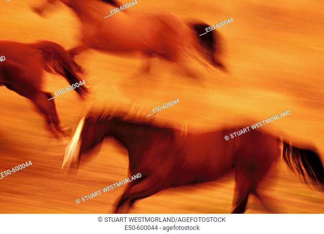 Wild Mustangs (Equus caballus). Oregon. USA