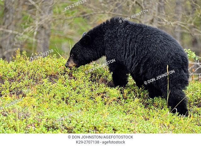 American black bear (Ursus americanus) foraging in cranberry patch, Wood Buffalo Naional Park, Alberta, Canada