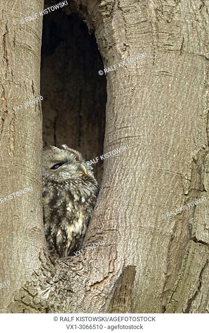 Tawny Owl (Strix aluco) perchend, resting, roosting in its nest hole, watching out of a tree hollow, natural surrounding, wildlife, Europe