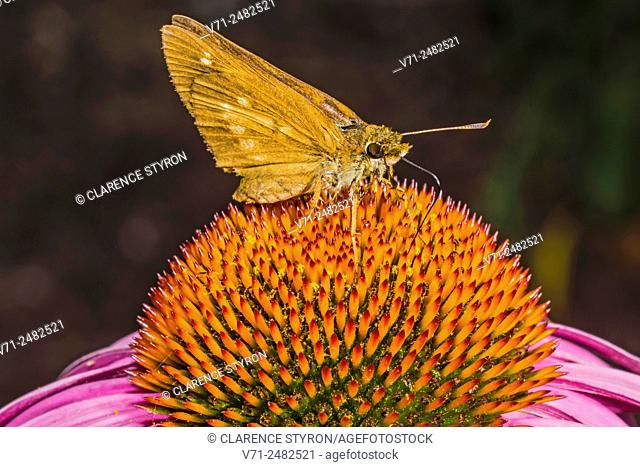 Broad-winged Skipper (Poanes viator) Feeding on Purple Cone Flower (Echinacea purpurea)