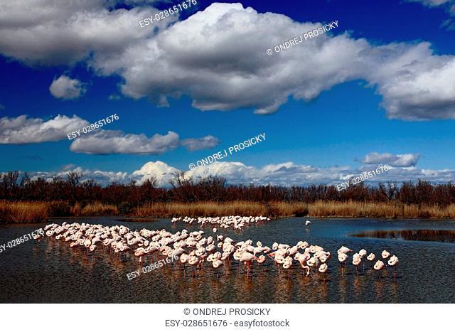Flock of Greater Flamingo, Phoenicopterus ruber