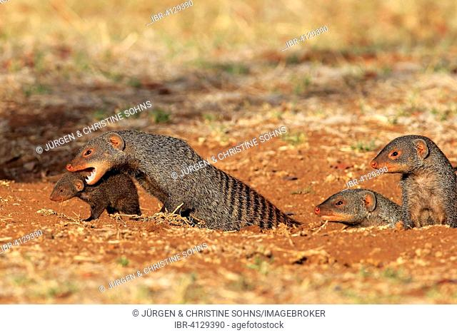 Banded mongoose (Mungos mungo), adult with pup, neck bite, mother carrying pup, Kruger National Park, South Africa