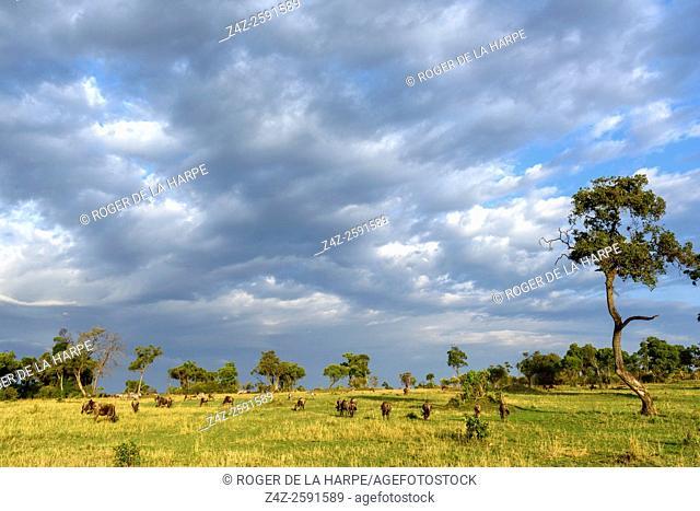 Blue wildebeest or common wildebeest, white-bearded wildebeest or brindled gnu (Connochaetes taurinus). Serengeti National Park. Tanzania