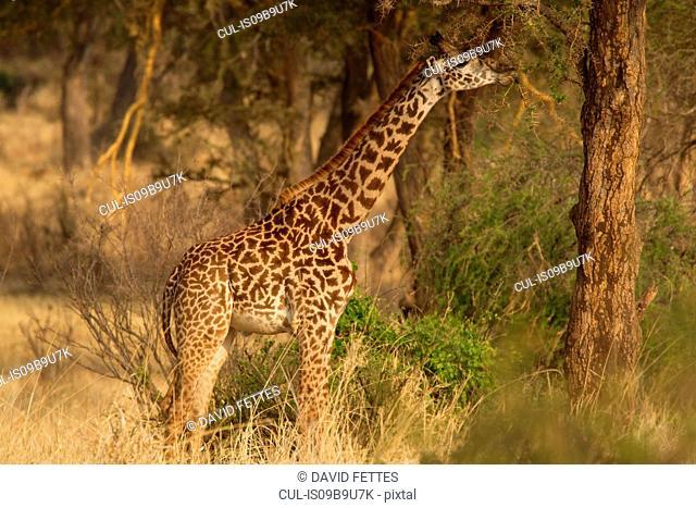 Giraffe, Giraffa camelopardalis, Tarangire National Park, Tanzania