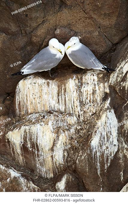 Black-legged Kittiwake Rissa tridactyla adult pair, in mirroring bonding display, standing on guano covered cliff ledge, County Wexford, Ireland, may