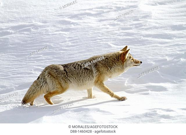 United states , Wyoming-Montana , Yellowstone National Park , Lamar Valley , Coyote  Canis latrans