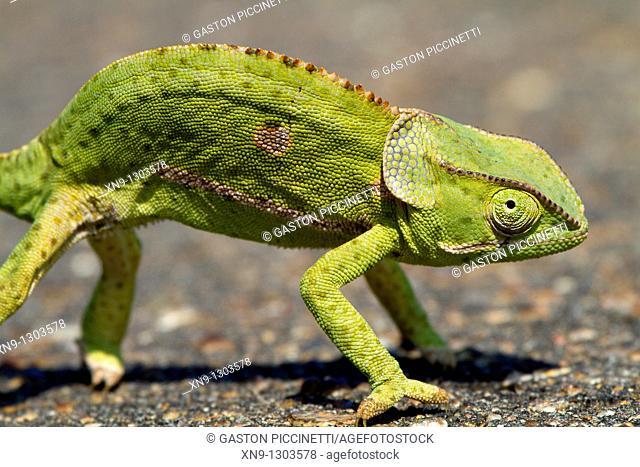Common chameleon Chamaleo chamaeleon, Kruger National Park, South Africa