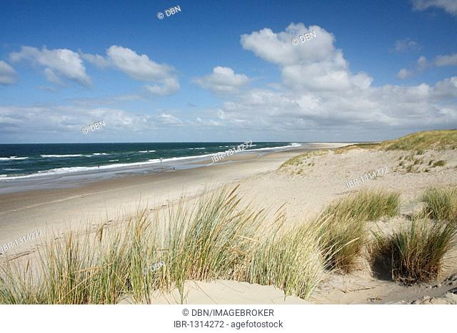 Marram grass on the beach near the De Slufter nature reserve, Texel, Holland, The Netherlands, Europe