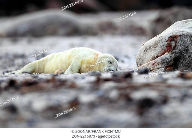 Kegelrobbe mit Heuler am Strand Helgoland