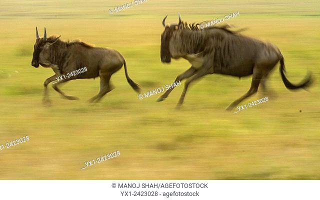 Wildebeest mother and baby running. Masai Mara National Reserve. Kenya