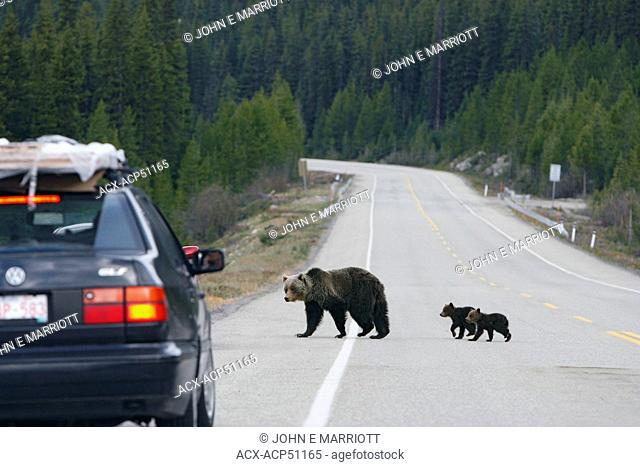 Grizzly bear sow and cubs crossing the Icefields Parkway, Banff National Park, Alberta, Canada