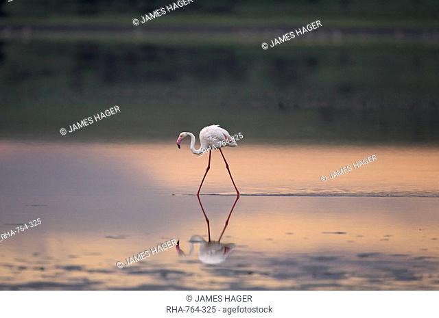 Greater flamingo Phoenicopterus ruber reflected in Lake Ndutu at sunset, Serengeti National Park, Tanzania, East Africa