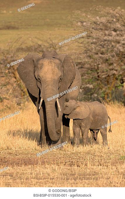 Serengeti National Park. African Elephant (Loxodonta africana). Mother and baby. Tanzania