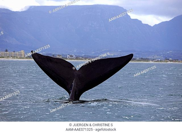 Southern Right Whale,Balaena glacialis,Simon's Town,Cape Peninsula,South Africa,adult lobtailing