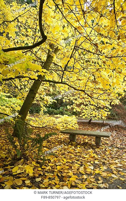 Japanese Spicebush over bench, autumn Lindera obtusiloba WA Park Arboretum, Seattle, WA