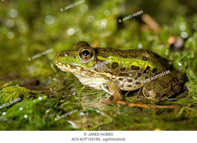 Chiracuah Leopard Frog, Sonoran Desert, United States, USA
