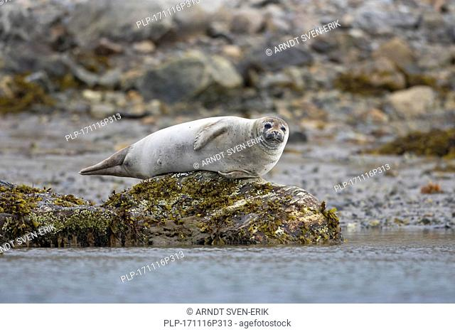 Common seal / harbour seal (Phoca vitulina) resting on rocky coast, Svalbard / Spitsbergen, Norway