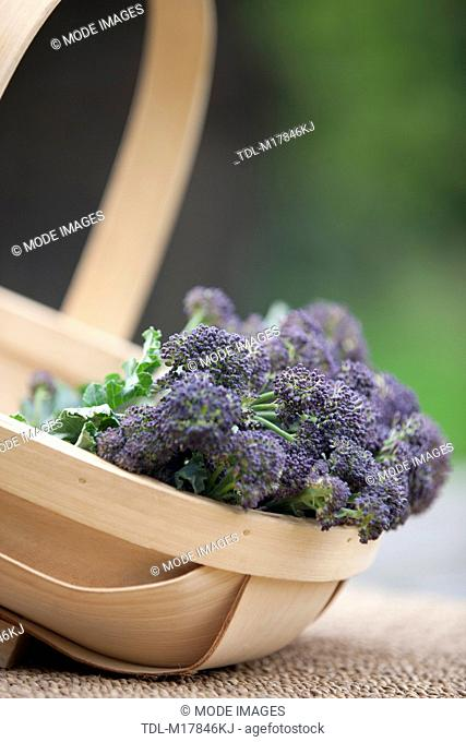 Purple sprouting broccoli in a wooden trug