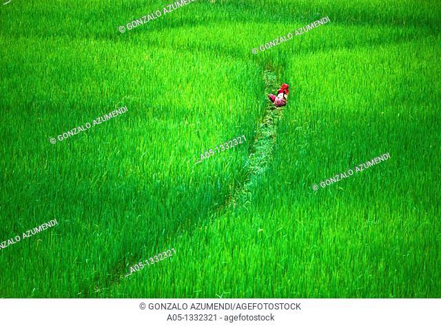 Rice field  Pokhara valley  Nepal