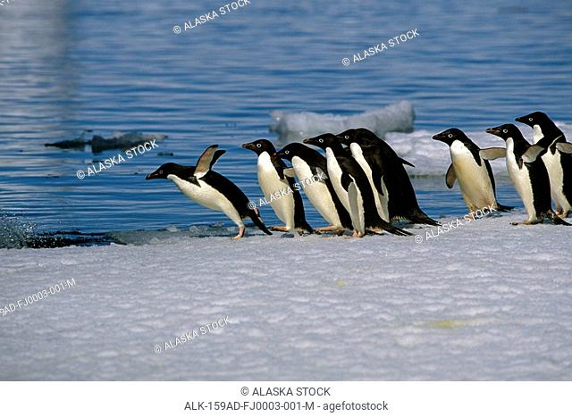 Adelie Penguins Jump From Iceberg Paulet Is Antarctic Summer