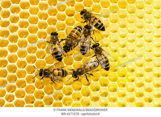 Carniolan honey bees (Apis mellifera carnica) on a honeycomb, Saxony, Germany