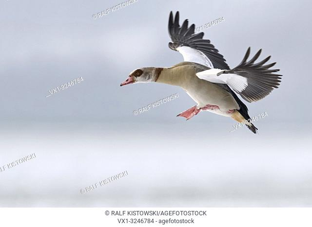 Egyptian Goose / Nilgans (Alopochen aegyptiacus) in winter, flying, just before landing, in wintry atmosphere, wildlife, Europe