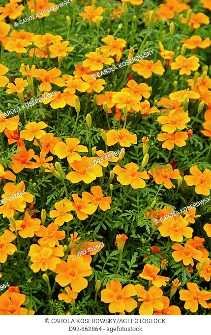 D, Germany, Brandenburg, Tagetes Tenuifolia, Studentenblume, Blossom, Flower, plants, Marigold, Gardening