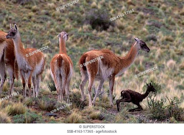 CHILE, TORRES DEL PAINE NAT'L PARK, GUANACOS, FEMALES WITH NEWLY BORN, FIRST STEPS