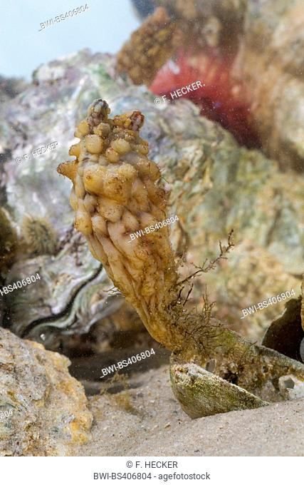 Stalked Sea Squirt, Asian sea squirt, rough sea squirt, leathery sea squirt, folded sea squirt (Styela clava), on a mussel