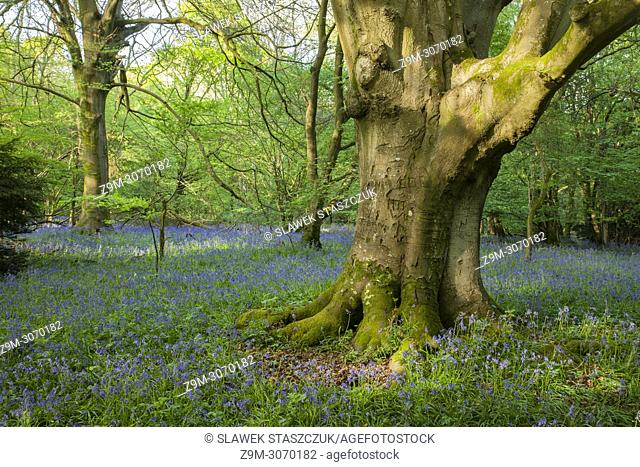 Bluebells in an East Sussex woodland, England