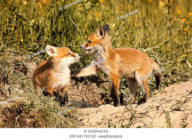 european red fox brothers playing in natural habitat ( Vulpes )