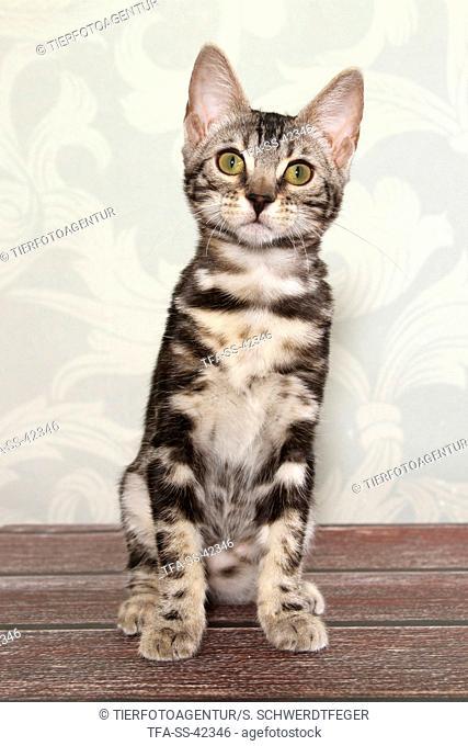sitting Bengal Cat