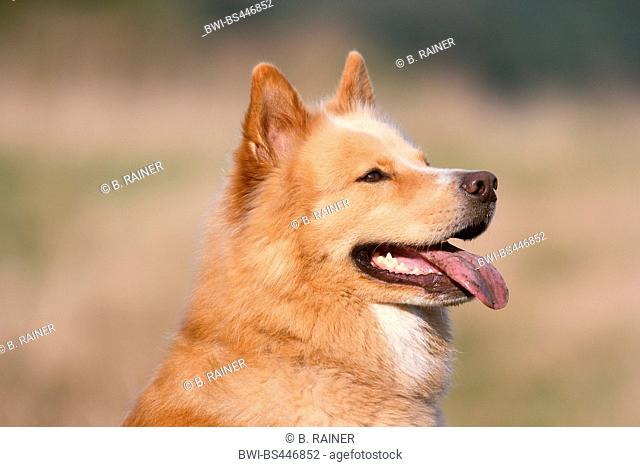 mixed breed dog (Canis lupus f. familiaris), panting Eurasier mixed breed dog, portrait, Germany