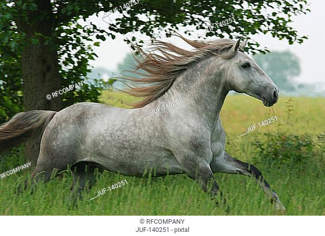 lusitano horse - galloping on meadow