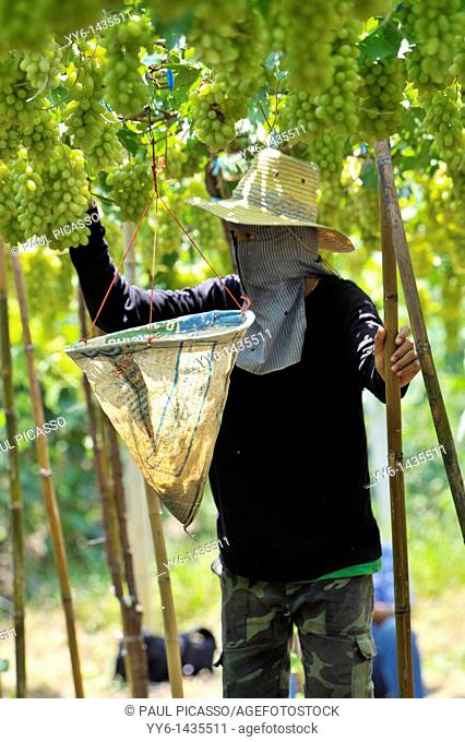 Harvesting white malacca grapes, floating vineyards of samut sakhon and ratchaburi, grapevines on islands seperated by canals, thailand