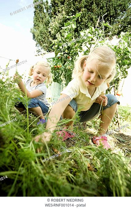 Germany, Bavaria, Girls gathering carrots in vegetable garden