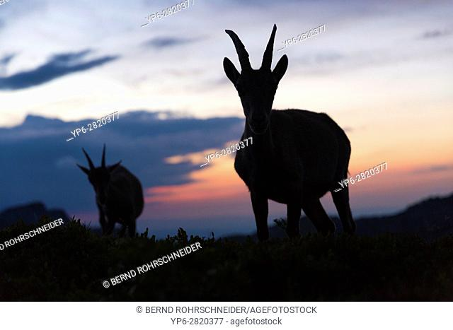Alpine Ibex (Capra ibex), female at dusk, Niederhorn, Bernese Oberland, Switzerland