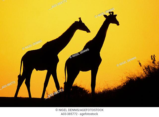 Giraffe (Giraffa camelopardalis) at dusk. Kruger National Park, South Africa