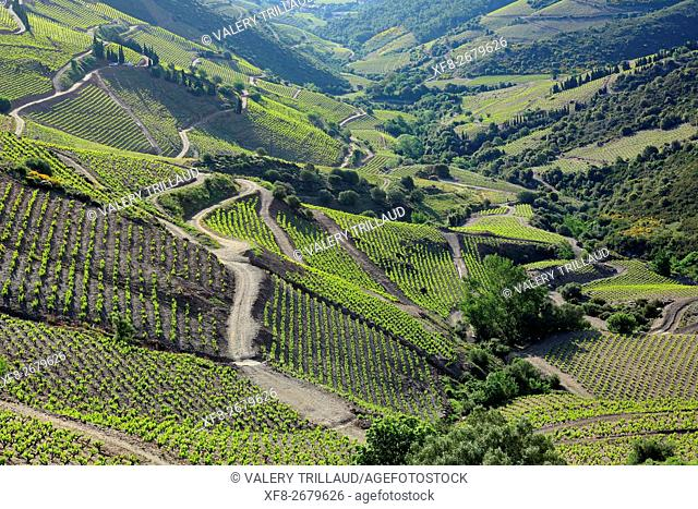Vineyards of the AOC Banyuls wine cultivated on the slope near the sea, Pyrenees orientales, Languedoc Roussillon, France