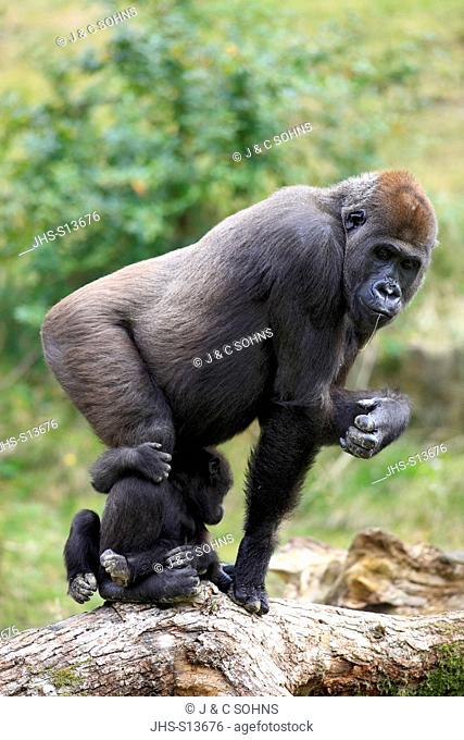 Lowland Gorilla, (Gorilla gorilla), Africa, adult female with young