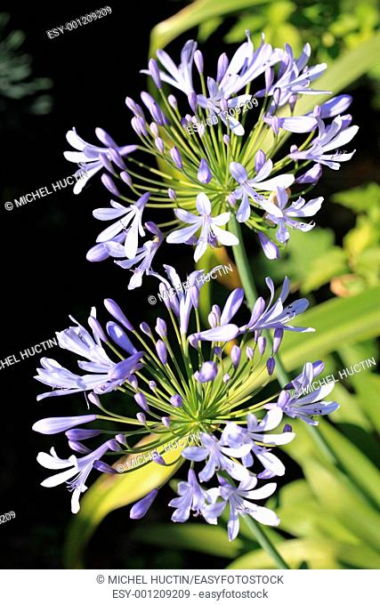 agapanthus or lily of the Nile, Bulb, tuberous blue, Agapanthus family Liliaceae