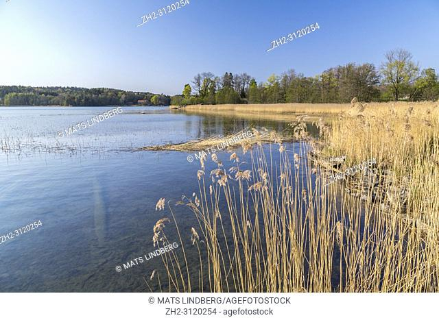 View over lake with reed and oak trees in spring season Södermanland, Sweden