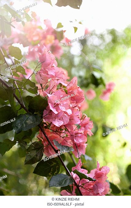 Bougainvillea blooms, vine and thorns, close-up