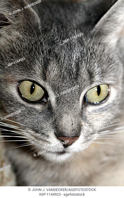 Close-up of a house cat's face