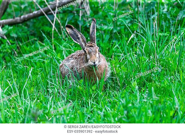 European Hare Feeding on Grass in a Spring Day