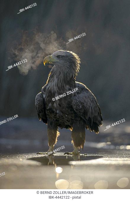 White-tailed eagle (Haliaeetus albicilla), adult standing in shallow water of pond, condensing breath, Kiskunság National Park, Hungary