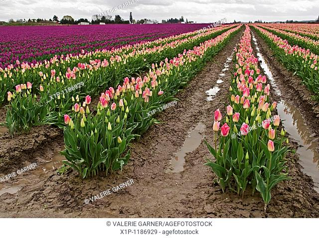 This gorgeous spring landscape is a very large rural field of puple and pink tulip bulbs after a spring rain The sky is still cloudy and threatening