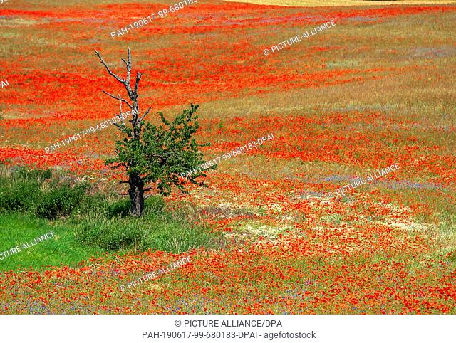 17 June 2019, Mecklenburg-Western Pomerania, Goldberg: A partially dead tree stands in front of a field of flowering poppies