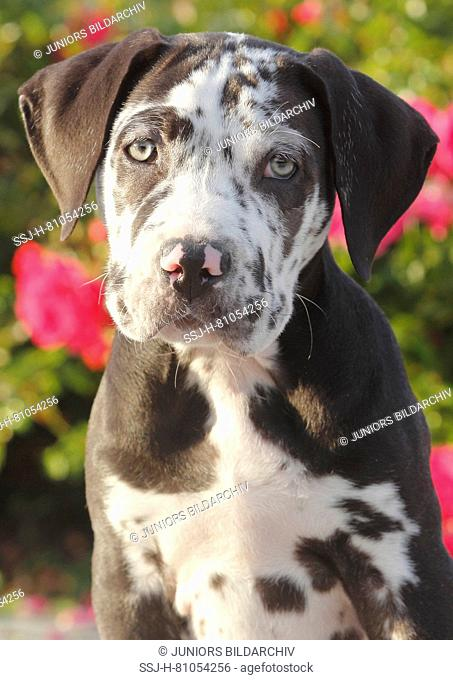 Mixed-breed dog (Dogo Canario x Great Dane). Portrait of a puppy (10 weeks old). Germany