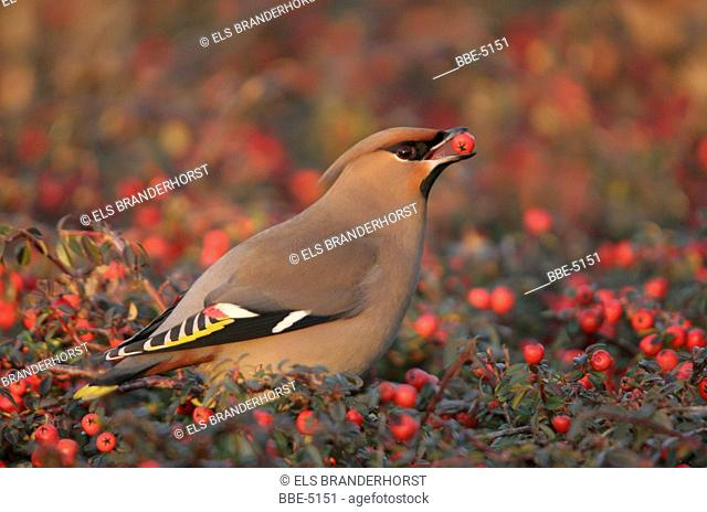 Bohemian Waxwing (Bombycilla garrulus) eating a red berry in late winter sunshine